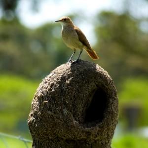 El hornero -ave nacional argentina- construye su nido de barro con forma de casa, y fue tomado a lo largo de la historia local como símbolo de la autoconstrucción. Fuente: Wikipedia Commons.